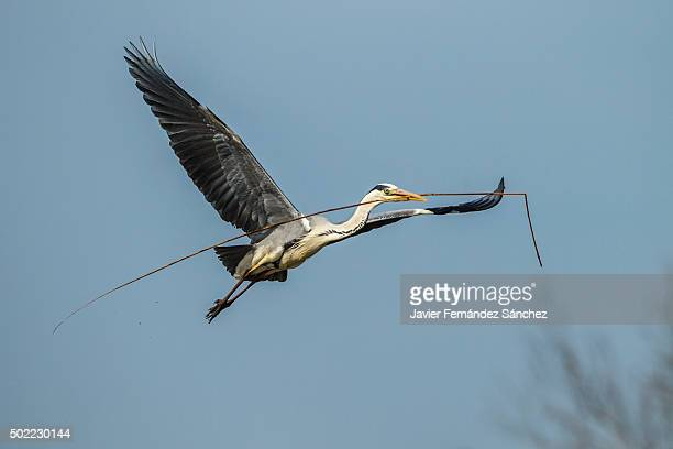 ardea cinerea.a grey heron flying with a reed in his beak to fix the nest. - サントマリードラメール ストックフォトと画像