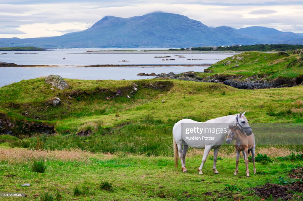 Ardnagreevagh, the horses of Connemara : Stock Photo
