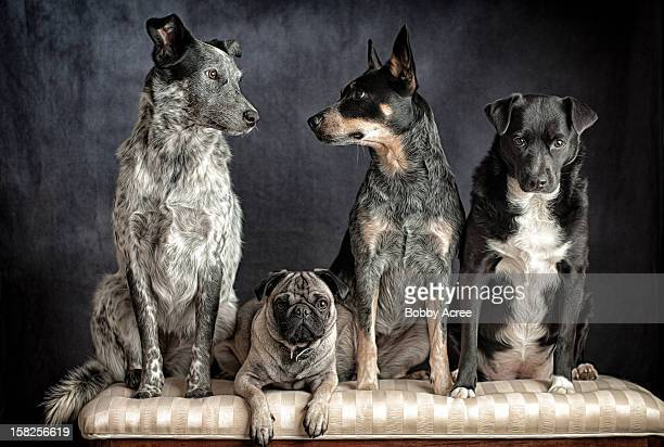 are we done yet? - australian cattle dog stock pictures, royalty-free photos & images