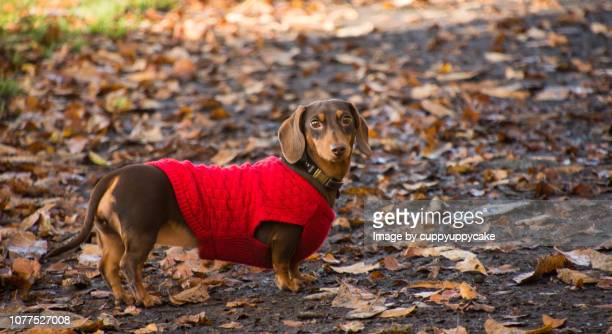 are you coming? - dachshund stock pictures, royalty-free photos & images