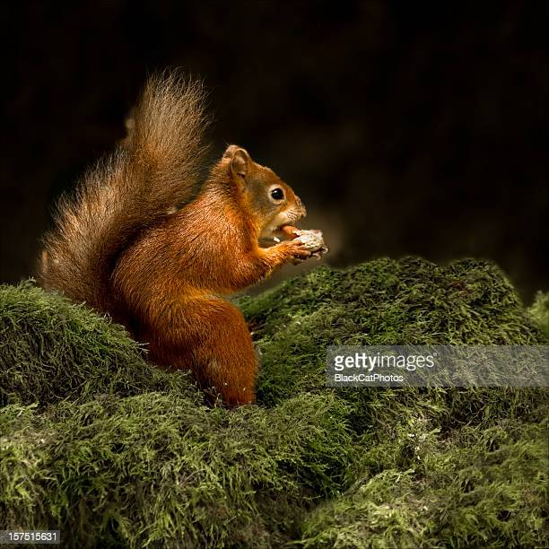 are you sitting comfortably? - american red squirrel stock photos and pictures