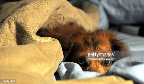 are you sure this is not my bed?! - long haired dachshund stock photos and pictures