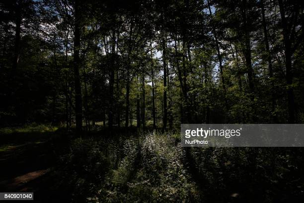 Areas inside the primeval Bialowieza forest are seen on 17 July 2017 The current conservative government has allowed logging in Europes only primeval...