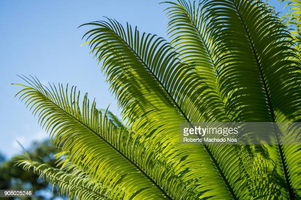 Areca palm, details of the beautiful green leaves