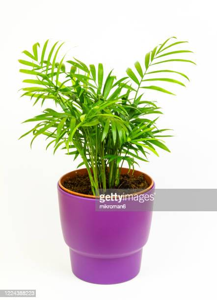 areca palm. house plant - palm stock pictures, royalty-free photos & images