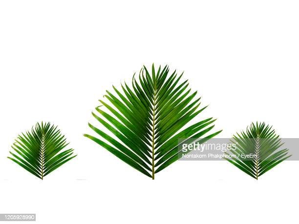 areca palm leaf isolated on white background, palm leaves, leaf frame - tropical tree stock pictures, royalty-free photos & images