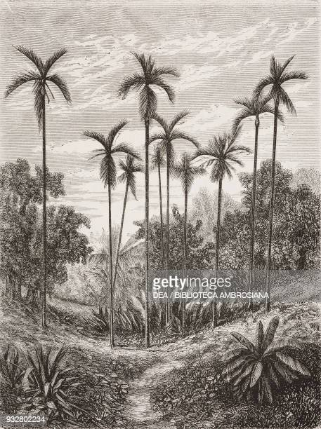 Areca palm trees Indonesia drawing from Journey to Java 18581861 by M de Molins from Il Giro del mondo Journal of geography travel and costumes...