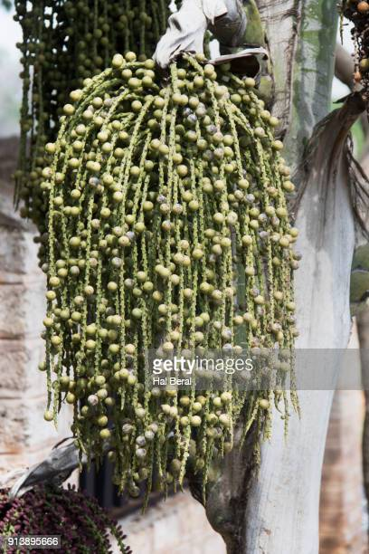 Areca Palm with it's nuts called Betel Nut