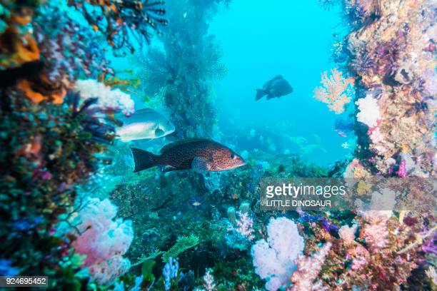 areolate grouper (epinephelus areolatus forsskål, 1775) swimming around the fish reef - grouper stock pictures, royalty-free photos & images