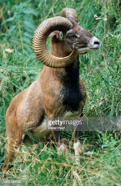 argali or mountain sheep, (ovis ammon), summer coat, allgaeu, bavaria, germany - argali sheep stock photos and pictures