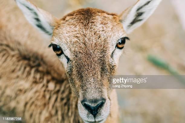 argali - argali sheep stock photos and pictures