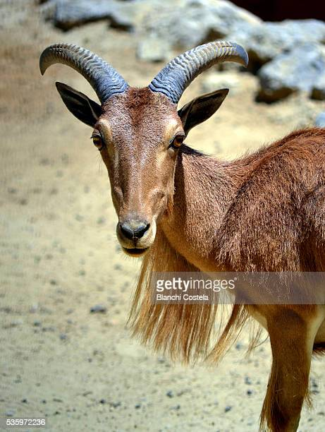argali (ovis ammon)  young ram in nature - argali sheep stock photos and pictures