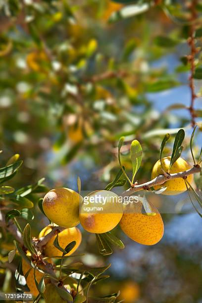 argan - argan tree stock pictures, royalty-free photos & images