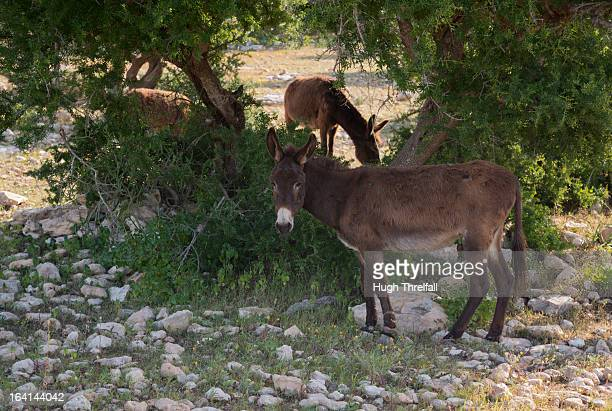 argan tree and mules in morocco - hugh threlfall stock pictures, royalty-free photos & images
