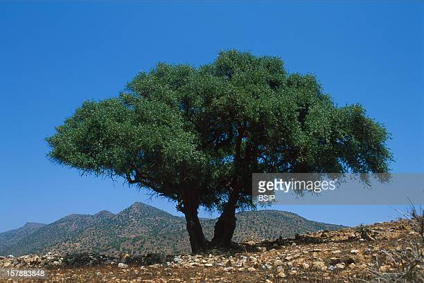 From The Cropping To The BottlingArganeraie In The AntiAtlas In The SouthWest Of MoroccoOil Argan Is Used Both For Food And Cosmetics It Is An Oil...
