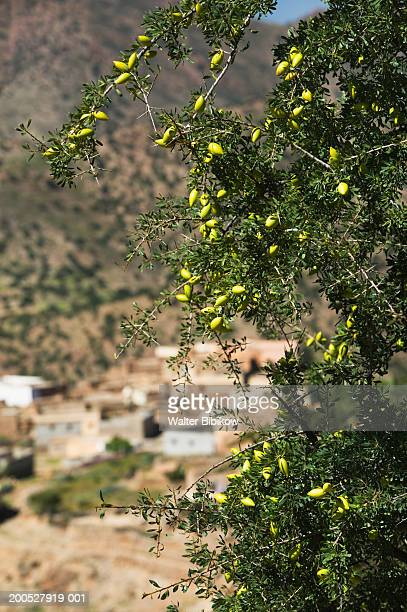 argan tree in foreground, in front of village - argan tree stock pictures, royalty-free photos & images