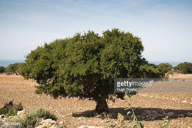 argan tree in morocco - hugh threlfall stock pictures, royalty-free photos & images