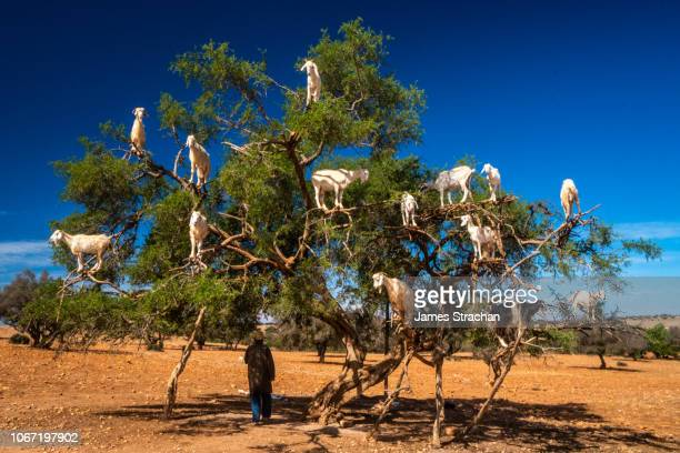 argan tree laden with acrobatic goats which have been feasting on its fruit and leaves, near essaouira, morocco - fruit laden trees stock pictures, royalty-free photos & images