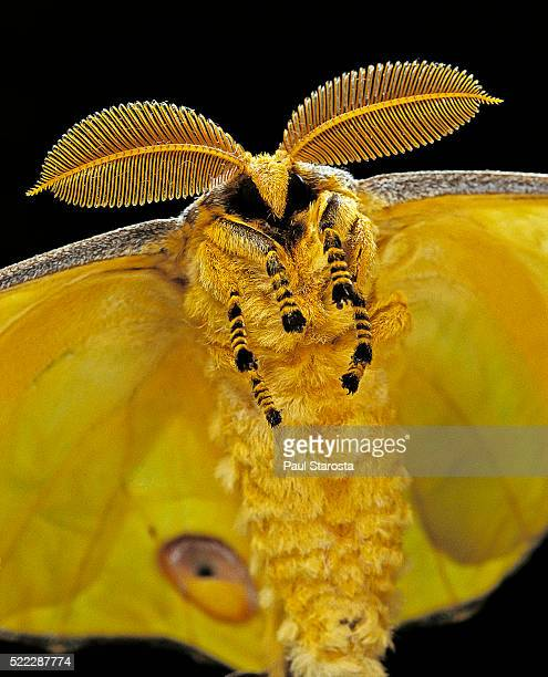 Argema mittrei (comet moth, Madagascan moon moth) - portrait