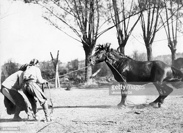 Argentina Gouchos taming wild horses series a horse got cought Photographer Willi Ruge undatedVintage property of ullstein bild