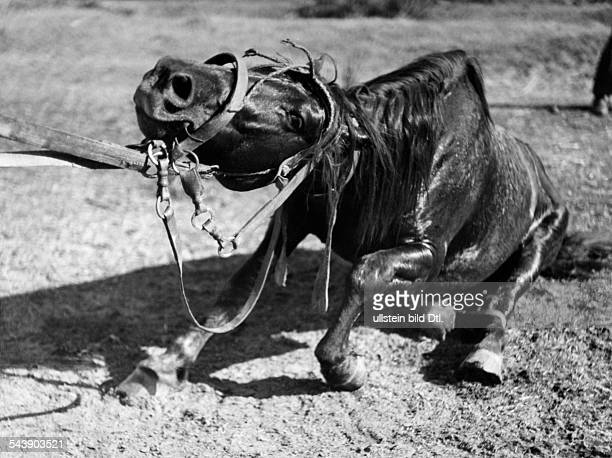 Argentina Gouchos taming wild horses series gouchos and horse which lies on the ground Photographer Willi Ruge undatedVintage property of ullstein...