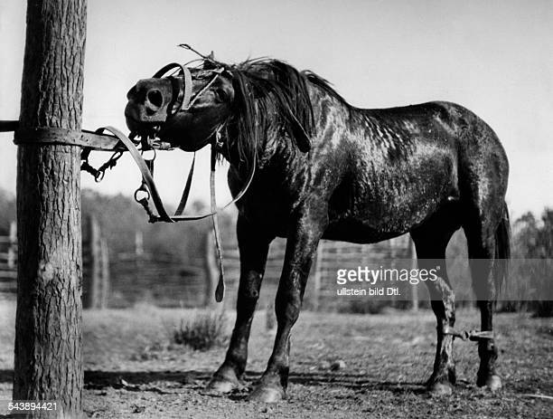 Argentina Gouchos taming wild horses series tied up horse standing Photographer Willi Ruge undatedVintage property of ullstein bild