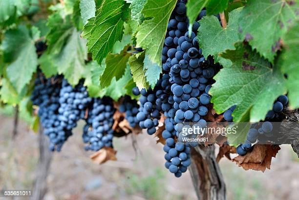 Argentina, Mendoza Province, Maipu, grape variety Malbec vine