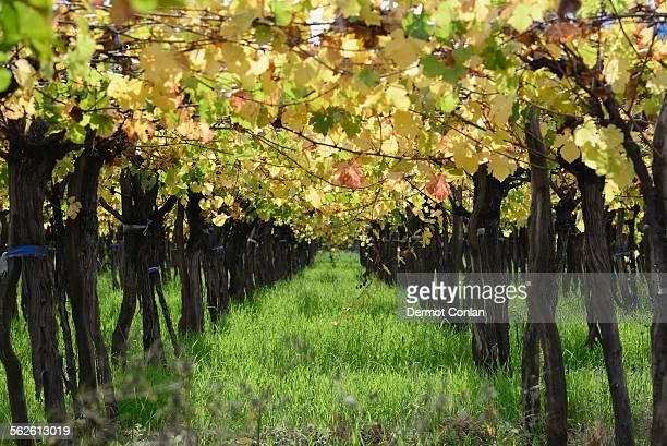 Argentina, Mendoza, Row of grape in vineyard