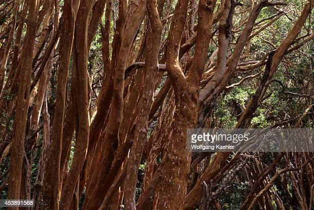 Argentina, Near Bariloche, Lake Nahuel Huapi, Quetrihue Peninsula, Arrayanes Tree Trunks.
