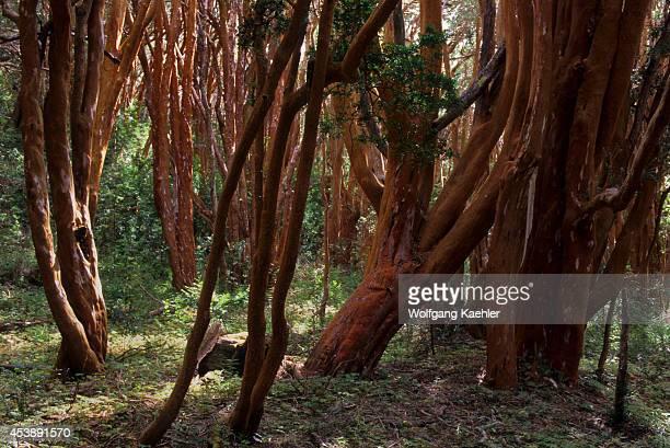 Argentina, Near Bariloche, Lake Nahuel Huapi, Quetrihue Peninsula, Arrayanes Trees.
