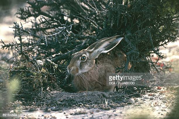 Argentina Patagonia Peninsula Valdes European Hare or Brown Hare sitting under shrub