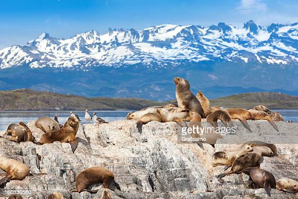 argentina ushuaia sea lions on island at beagle channel - argentina stock pictures, royalty-free photos & images