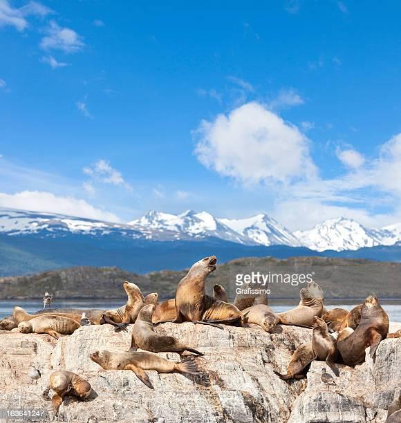 Argentine Ushuaia Les lions de mer sur l'île de Canal de Beagle