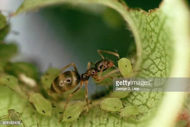 Argentine Ant Farming Aphids