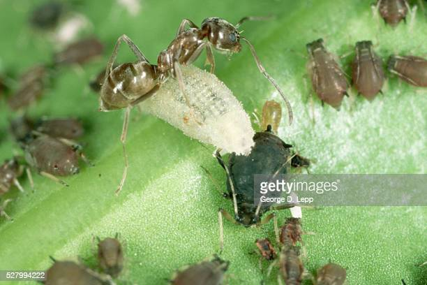 argentine ant moves larva - aphid stock pictures, royalty-free photos & images