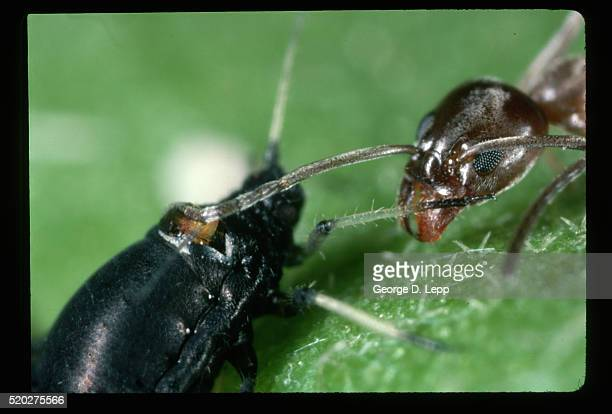 18 Argentine Ant Pictures, Photos & Images - Getty Images