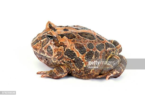 Argentine horned frog Ceratophrys ornata crouched A species suitable for terrarium life though can grow to 150 mm so eats a lot Studio photograph...