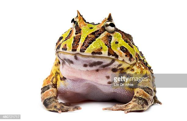 argentine horned frog, ceratophrys ornata - horned frog stock photos and pictures