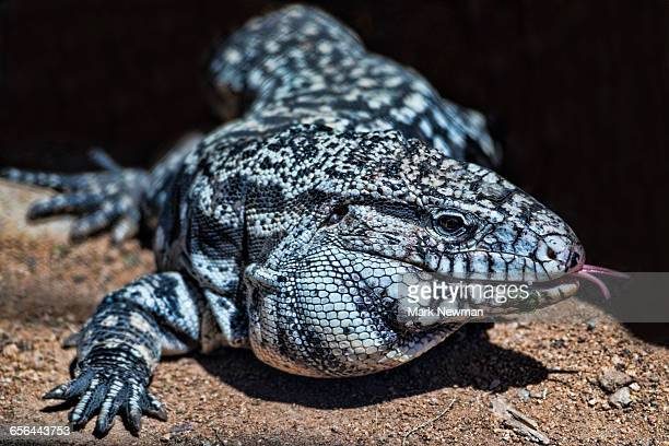 41 Black And White Tegu Pictures, Photos & Images - Getty Images