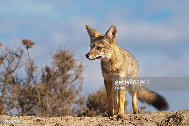 argentinean gray fox - gray fox stock photos and pictures