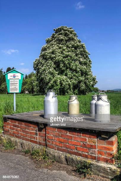 Argestorfer Kannenrampe und blühenden Kastanienbaum - Symbol der aussterbende Landwirte mit Kuhhaltung .