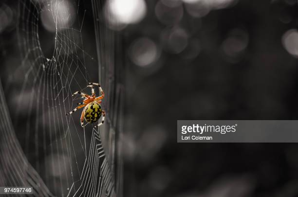 Argiope Auranta spider on spiderweb