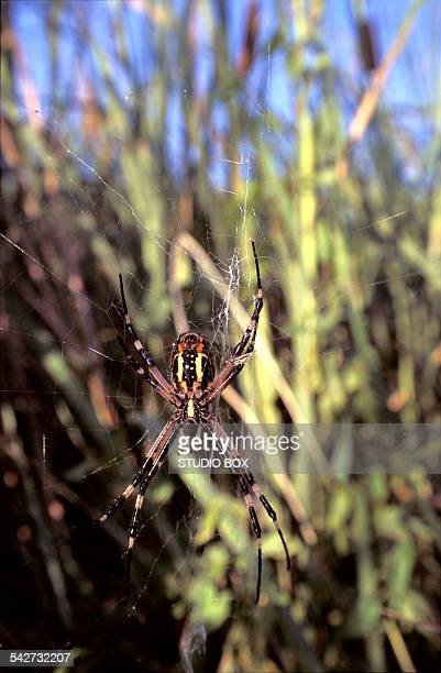 Argiope aurantia spider in its web