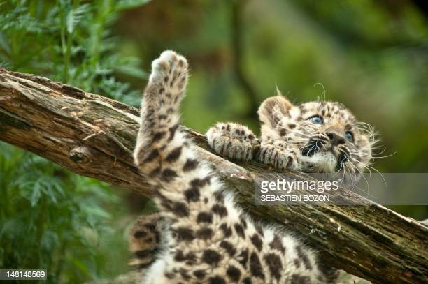 'Argoun' a threemonthold Amur leopard is pictured during its first time out on July 11 2012 at the zoo in Mulhouse eastern France Amur leopards...