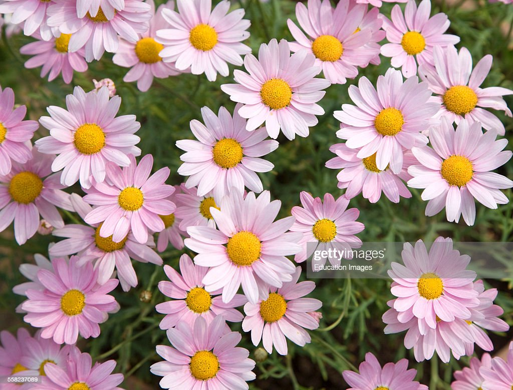 Argyranthemum Pink Daisy Like Flowers News Photo Getty Images