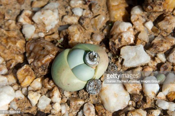 argyroderma sp. with seed capsule growing in quartz field, knersvlakte, western cape, namaqualand, south africa - ナマクワランド ストックフォトと画像