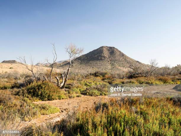 Arid and desert landscape, with dunes of sand, plants, shrubs and dry trunks of tree, a sunny day with blue sky. Cabo de Gata - Nijar Natural Park,  Biosphere Reserve, Almeria,  Andalusia, Spain
