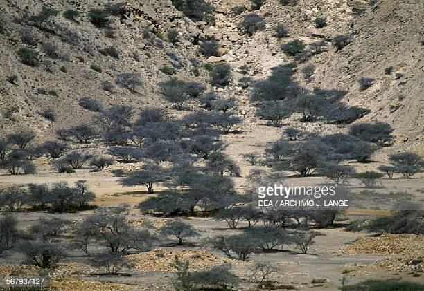 Arid landscape and trees near Muscat Oman