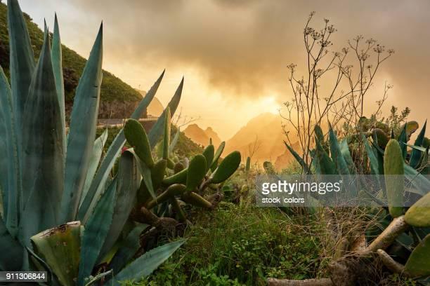 arid vegetation in Tenerife