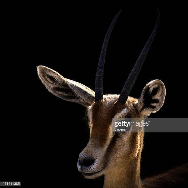 Ariel gazelle